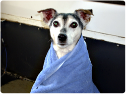 Hot towel treatment for your dog, skin and coat conditioning with aloe treatment